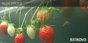 埼玉県久喜市のいちご狩り、季節の香り農園